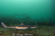 spiny dogfish, piked dogfish, spurdogs, or dog sharks ( Squalus acanthias ), Quadra Island, off Vancouver Island,<br /> British Columbia, Canada ( Discovery Passage )