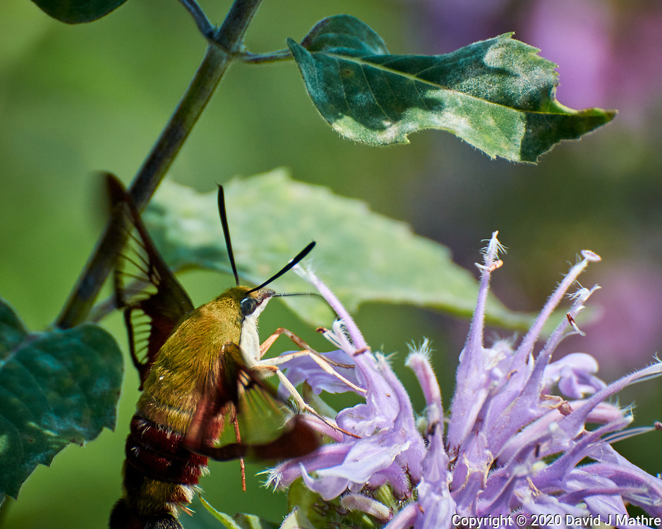 Hummingbird Clearwing Moth (Hemaris thysbe) feeding on a Lemon-Mint (Bee Balm). Image taken with a Nikon N1V3 camera and 70-300 mm VR lens