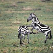 Burchell's Zebra, (Equus burchelli) Pair fighting. Kenya. Africa.