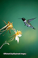 01162-052.20 Ruby-throated Hummingbird (Archilochus colubris) male on Yellow Columbine (Aquilegia chrysantha) Shelby Co.  IL