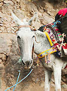 A laden donkey walks up a path in a berber village in the Imlil Valley in the Toubkal National Park; Morocoo