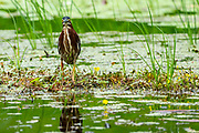 Green heron (Butorides virescens) foraging for fish. This bird is found in wetlands from southern Canada to northern South America. Like all herons, it uses its long legs to wade in water to catch its prey of fish and other water animals using its long beak. Its body length is generally less than 50 centimetres. Photographed in Costa Rica in June