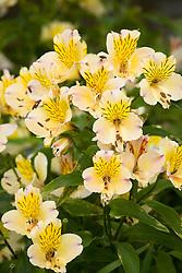 Alstroemeria 'Friendship' - Peruvian lily