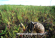 02539-001.16 Ornate Box Turtle (Terrapene ornata) Prairie Ridge State Natural Area, Marion Co. IL