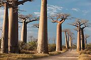A motorbike driving through Avenue of the Baobabs, near Morondava, Madagascar