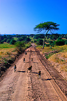 A troop of baboons marches down a road in Tarangire National Park, Tanzania