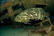 A Goliath Grouper (Epinephelus itajara), a protected and threatened species, photographed on a shipwreck in Jupiter, FL.