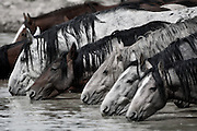 Beautiful photos of wild horses in Nevada in the American West. Photo by Colin E. Braley