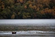 A brown bear swims in Naknek Lake, September 26, 2018.