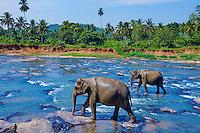 Sri Lanka, province de Sabaragamuwa, district de Ratnapura, Pinnawela, orphelinat des éléphants, bain des elephants // Sri Lanka, Ceylon, North Central Province, Pinnawela elephant orphanage, elephant bath
