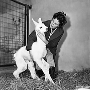 Miss Maeve Allen, with five-day-old llama 'Snowdrop' at Dublin Zoo..07.03.1962