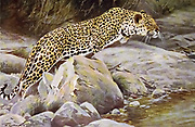 leopard (Panthera pardus here as Felis pardus) from the book '  Animal portraiture ' by Richard Lydekker, and illustrated by Wilhelm Kuhnert, Published in London by Frederick Warne & Co. in 1912