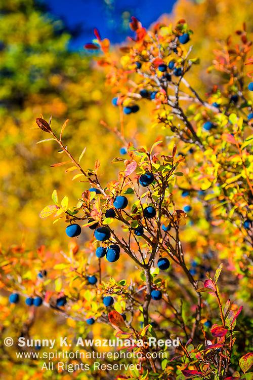 Lowbush Blueberry bush in fall color, Denali National Park & Preserve, Interior Alaska, Autumn. Vertical image.