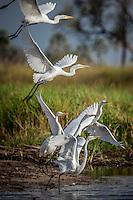 Great White Egret in flight in the Okavango Delta, Botswana.