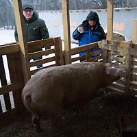Pig killing in Pomaz