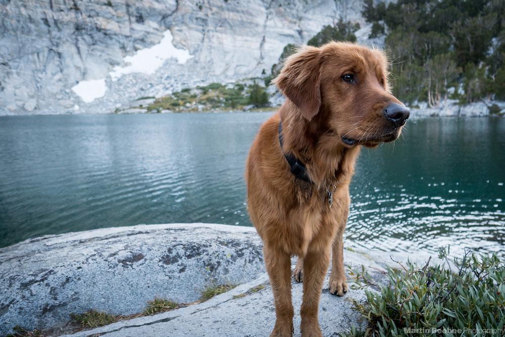 Dog (golden retriever) standing at the edge of Gem Lake, John Muir Wilderness, Inyo National Forest, California