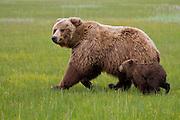 Alaskan brown bear sow with cub running in Lake Clark National Park