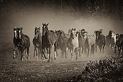 A herd of horses headed for the pastures after a day of trail rides in Grand Teton National Park.