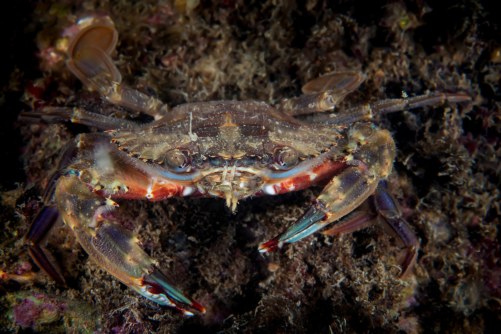 Swimming crab, Charybdis japonica, Penglai, located on the southern coast of Gulf of Bohai, Yellow Sea. Penglai, formerly known as Dengzhou or Tengchow, belongs to the prefecture-level city of Yantai, Shandong Province, China.<br /><br />Conservation: The Yellow Sea is one of the most threatened marine areas on earth. Land reclamation has destructed more than 60% of tidal wetlands in only 50 years. Rapid coastal development for agriculture, aquaculture and industrial.development are primary drivers of coastal destruction in the region. In addition pollution, harmful algal blooms, invasion of introduced species are having a negative effect. There are 25 intentionally introduced species and 9 unintentionally introduced species in the Yellow Sea marine ecosystem.