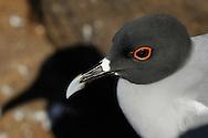 Swallowtailed Gull (Creagrus furcatus), North Seymour, Galapagos, Ecuador