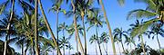 Low angle view of palm trees, Oahu, Hawaii, USA