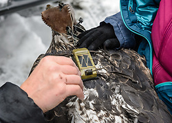 """Steve Lewis, Raptor Management Coordinator, U.S. Fish & Wildlife Service (left), attaches a solar-powered GPS satellite transmitter (also known as a PTT - platform transmitter terminal) to the back of a bald eagle (Haliaeetus leucocephalus) using a lightweight harness. Assisting Lewis with the attaching of the GPS satellite transmitter by holding the eagle is Yiwei Wang, graduate student, University of California Santa Cruz (right). The eagle, captured in the Alaska Chilkat Bald Eagle Preserve will be tracked by Rachel Wheat, a graduate student at the University of California Santa Cruz. Wheat is conducting a bald eagle migration study of eagles that visit the Chilkat River for her doctoral dissertation. She hopes to learn how closely eagles track salmon availability across time and space. The latest tracking location data of this bald eagle known as """"2Z"""" can be found here: http://www.ecologyalaska.com/eagle-tracker/2z/ . During late fall, bald eagles congregate along the Chilkat River to feed on salmon. This gathering of bald eagles in the Alaska Chilkat Bald Eagle Preserve is believed to be one of the largest gatherings of bald eagles in the world."""