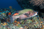 harlequin sweetlips, Plectorhinchus chaetodonoides, <br /> being cleaned by cleaner wrasse, Labroides dimidiatus,<br /> Maaya Thila. Ari Atoll, Maldives ( Indian Ocean )