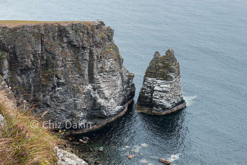 The crags of Sugar Loaf (sea stack) in Bay Stacka are a perfect nesting site for kittiwakes