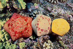 Cushion stars, Culcita novaeguineae, showing variety of colorations, Kona Coast, Big Island, Hawaii, Pacific Ocean