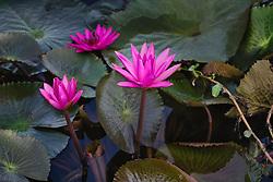 Water Lily, magenta #12 horiz