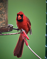 Northern Cardinal. Image taken with a Nikon D5 camera and 600 mm f/4 VR lens (ISO 1600, 600 mm, f/5.6, 1/400 sec)