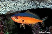 neon fusilier or dark-banded fusilier, Pterocaesio tile, nighttime coloration, Flinders Reef, Coral Sea, Australia ( Western Pacific Ocean )