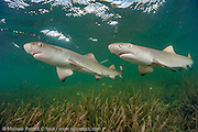 Lemon Shark Pup, Negaprion brevirostris, swims over sea grass in Florida Bay, Everglades National Park, Florida, United States. Image available as a premium quality aluminum print ready to hang.