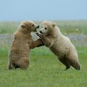 Alaskan Brown Bear, (Ursus middendorffi)  Sibling cubs playing. Katmai National Park. Alaska.