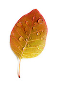 The leaf of a eurasian smoketree (Cotinus coggygria) with water droplets in fall. Western Oregon.