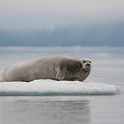 Bearded Seal resting on an ice flow. Svalbard, Norway