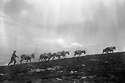 Farmers use donkeys to transport sand and cement up Croagh Patrick for work on the exterior of the Oratory.  Driving the donkeys up the mountain..15-17.05.1962