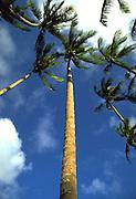 Coconut tree, Hawaii, USA<br />