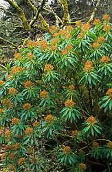Euphorbia mellifera - Honey spurge