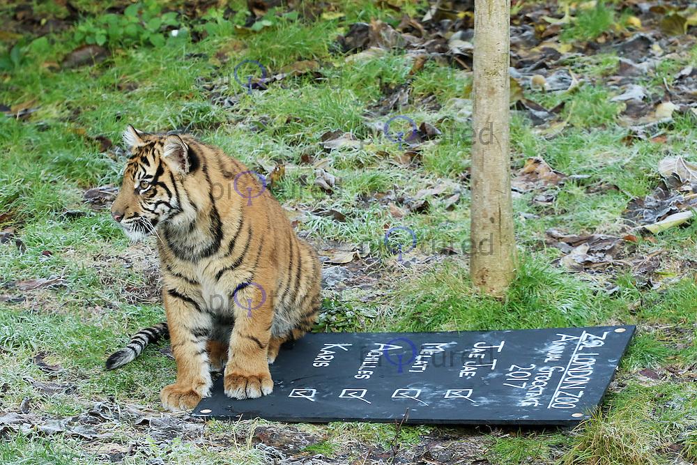 Sumatran Tigers, ZSL London Zoo - Annual Stocktake 2017, London UK, 03 January 2017, Photo by Brett D. Cove
