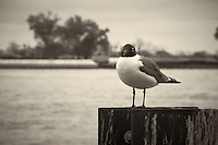 Seagull along Mississippi River in New Orleans, Louisiana. Image taken with a Nikon D300 and 18-200 mm lens (ISO 200, 130 mm, f/11, 1/125 sec). Processed with Capture One Pro (including conversion to B&W).