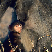 Chacma Baboon, (Papio ursinus) Young baboon nestled at breast of female. Early evening. Kruger National Park. South Africa.