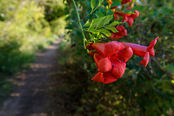 Trumpeter vine and trail to Greer Island in Lake Worth, Fort Worth Nature Center, Fort Worth, Texas USA. Greer Island is the home of the famed Lake Worth Monster, or Goatman.