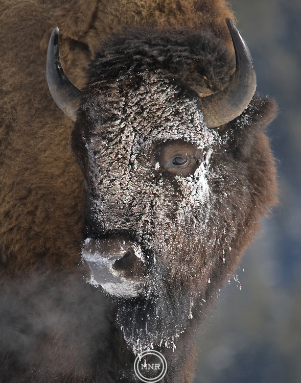 A winter mask of snow covers the face of this Bison in Yellowstone National Park.