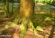 Forest along Honey Run, aged White Pine, Reed's Gap State Park, Mifflin Co. PA