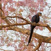 Hyacinth Macaw in Pantanal, Brazil.