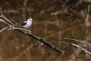 Pied Water Tyrant (Fluvicola pica)<br /> Mahaica River<br /> GUYANA<br /> South America