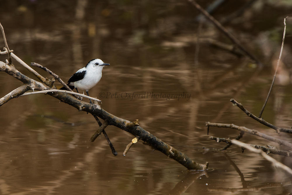 Pied Water Tyrant (Fluvicola pica)<br /> Mahaica River<br /> GUYANA<br /> South America