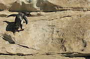 Da Felsenpinguine (Eudyptes chrysocome) immer wieder die gleichen Felspfade auf ihrem Weg zur Brutkolonie herauf hüpfen, hinterlassen ihre scharfen Krallen mit der Zeit tiefe Rillen im Stein. | Rockhopper penguins (Eudyptes chrysocome) use the same paths over and over again to reach their breeding colonie far uphill. On steep sections distinctive marks in the surface tell about millions of times when sharp rockhopper claws scratched the rock.