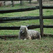 A sheep at one of the farms making up the restoration at Colonial Williamsburg, Williamsburg, VA